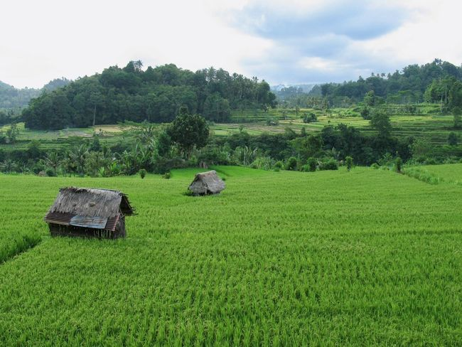 Agriculture Field Farm Landscape Rice Paddy Rural Scene Rice - Cereal Plant Outdoors Nature No People Green Color Growth Tranquility Scenics Terraced Field Beauty In Nature