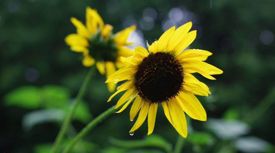 The soaking of a sunflower. Flower Yellow Fragility Petal Plant Nature Flower Head Growth Summer Freshness Beauty In Nature Close-up Outdoors Day Focus On Foreground Rain Sunflower Beauty Focus On Subject Depth Of Field Blurred Background 50 1.4 Natural Bokeh Photography