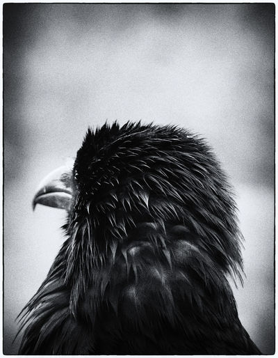 Raven Animal Animal Body Part Animal Head  Animal Themes Animal Wildlife Animals In The Wild Auto Post Production Filter Beak Bird Close-up Day Focus On Foreground Nature No People One Animal Outdoors Selective Focus Side View Transfer Print Vertebrate