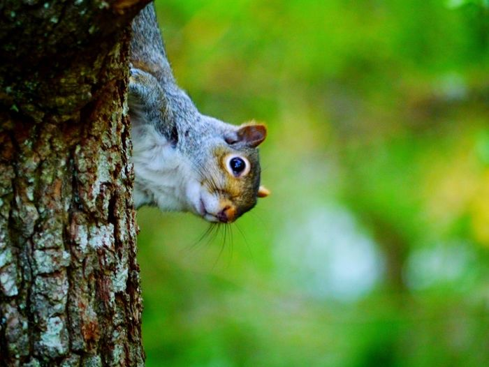 Peek a boo, I see you! One Animal Focus On Foreground Tree Animal Themes Tree Trunk Nature Squirrel Animals In The Wild No People Day Outdoors Close-up Animal Wildlife Mammal EyeEm Nature Lover EyeEm Gallery EyeEmBestPics EyeEm Best Shots EyeEmNewHere Beauty In Nature Devon EyeEm Nature Summer Nature Photography