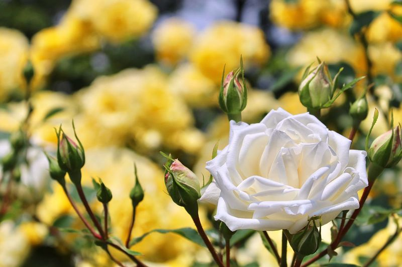 Rose Garden 🌹 ZAO Miyagi Tohoku Japan Photography Springtime Roses White Flower Yellow Flower Flower Head EyeEm Flower Blooming Focus On Foreground Lovely Taking Photos Beauty In Nature Sunny Day Happy Time Enjoying Life Look At Me 蔵王 宮城県 東北 バラ園 薔薇