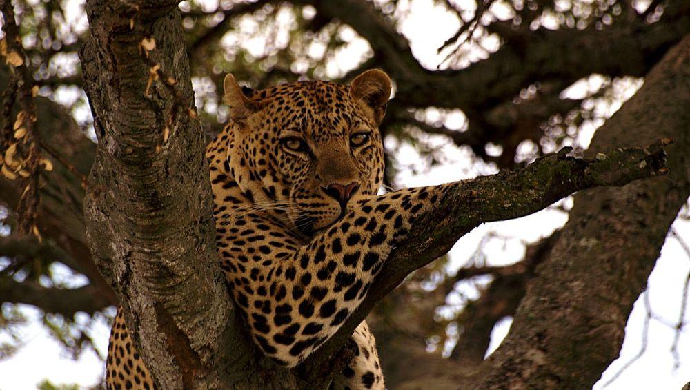 Beautiful Wildlife & Nature EyeEm Nature Lover Catsofinstagram Wildlife Beautiful Photographystudent Rookie Photographer TembeaKenya Maasai Mara Leopard