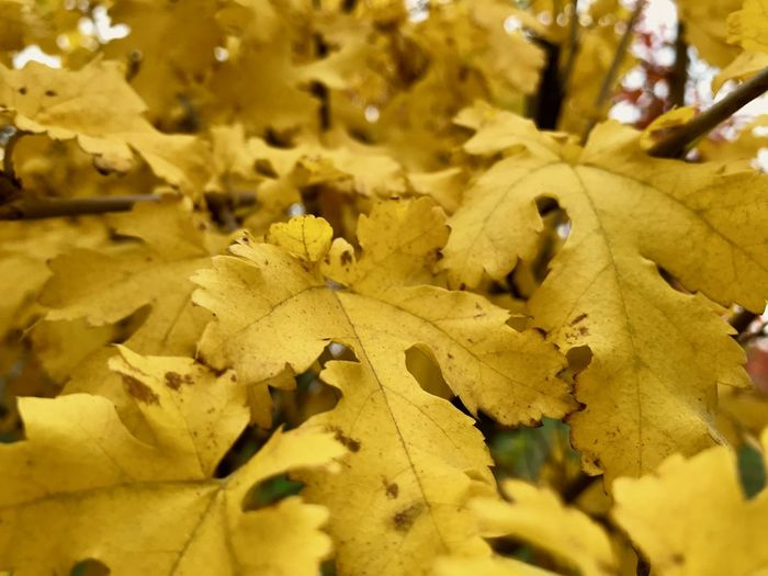 Nature Autumn Beauty In Nature Change Close-up Day Dry Fragility Freshness Growth Leaf Leaves Maple Nature No People Outdoors Tree Yellow
