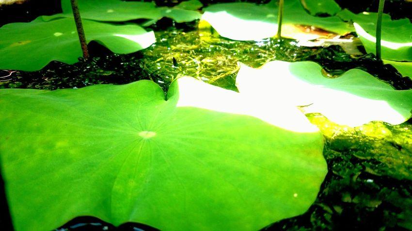 Lotus leaf in the sink