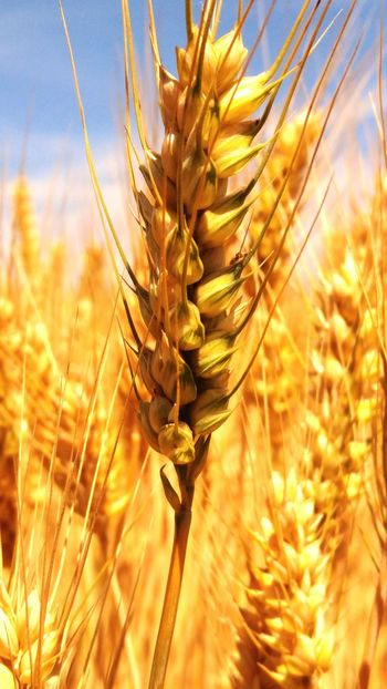 Cereal Plant Nature Agriculture Field Wheat Plant Growth Crop  Close-up Arid Climate Beauty In Nature Outdoors Uncultivated Summer Rural Scene Seed Rye - Grain Sunlight No People Focus On Foreground LGV10 Subotica Lg V10 Farm
