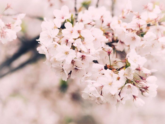 Sakura blossom season Sakura Flower Flowering Plant Fragility Plant Freshness Vulnerability  Blossom Beauty In Nature Cherry Blossom Petal Pink Color Springtime Branch Tree