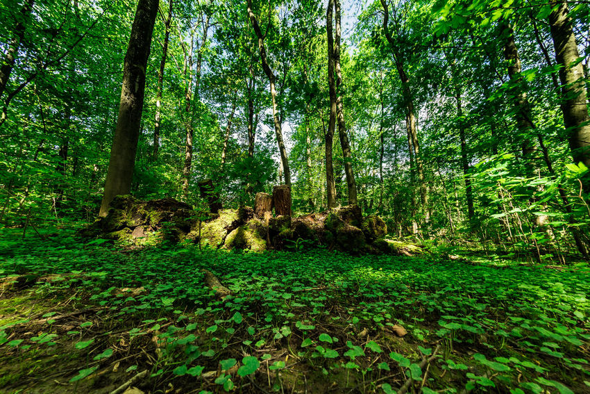 Eyem Nature Lovers  Nikon D750 Nikon Fisheye16mm Beauty In Nature Day Environment Forest Forestwalk Green Color Growth Idyllic Land Lush Foliage Nature Non-urban Scene Outdoors Plant Rainforest Scenics - Nature Tranquil Scene Tranquility Tree Tree Trunk Trunk WoodLand The Great Outdoors - 2018 EyeEm Awards