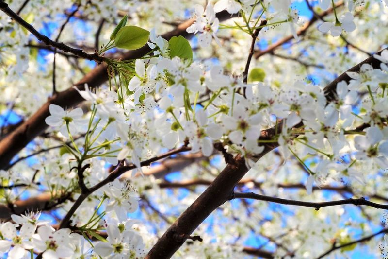 spring bliss Hanami Cherry Blossoms Sakura Tree Flower Branch Springtime Backgrounds Blossom The Great Outdoors - 2018 EyeEm Awards