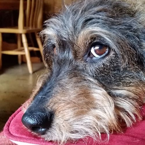 That's Me Relaxing Hi! Samsung Galaxy S5 Teckel Dachshund Dog Love Dog Dogs Of EyeEm Dackelblick Dackel