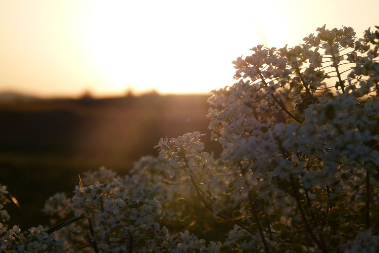 Plant Beauty In Nature Growth Flower Nature Sky Flowering Plant Selective Focus Fragility Tranquility Vulnerability  Freshness Tree No People Day Close-up Outdoors Field Springtime Scenics - Nature Cherry Blossom