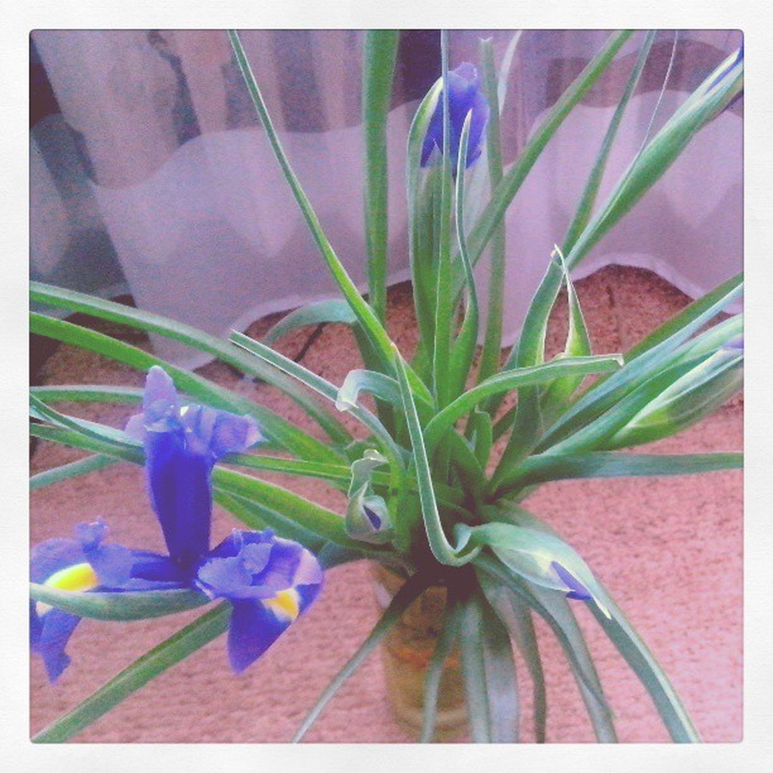 flower, transfer print, freshness, petal, fragility, flower head, growth, auto post production filter, plant, beauty in nature, purple, nature, close-up, indoors, leaf, blooming, in bloom, stem, vase, potted plant