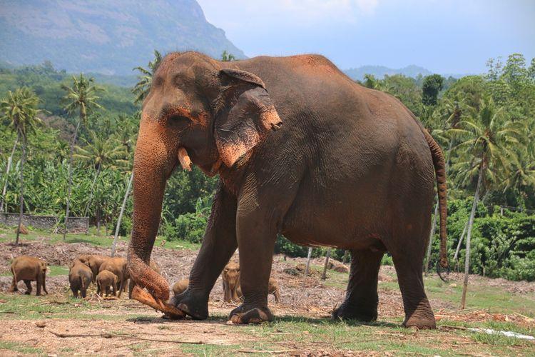 Elephant with calves on field