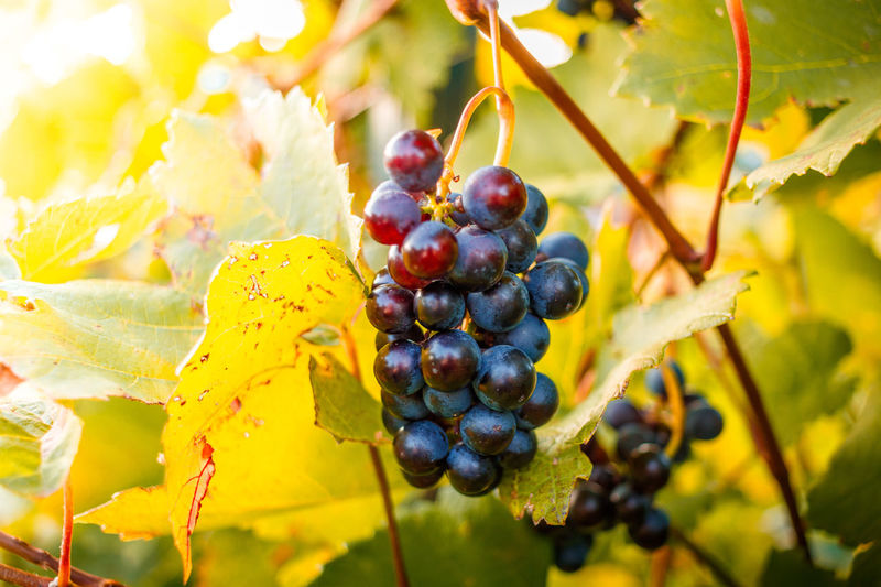 Close-up of grapes growing on tree