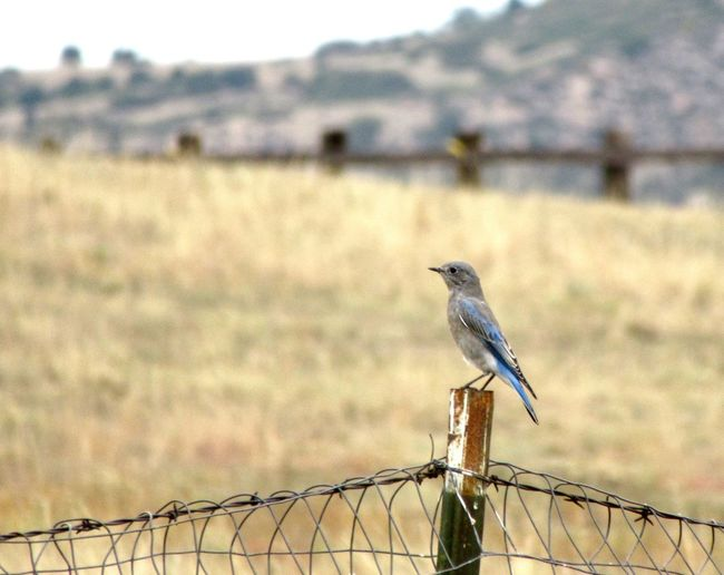 Bluebird on prairie fence in Colorado EyeEm Selects Wildlife & Nature Wildlife Countryside Prairie Outdoors Side View Avian Bluebird Bird Vertebrate Perching Focus On Foreground Fence No People Barbed Wire Day Nature