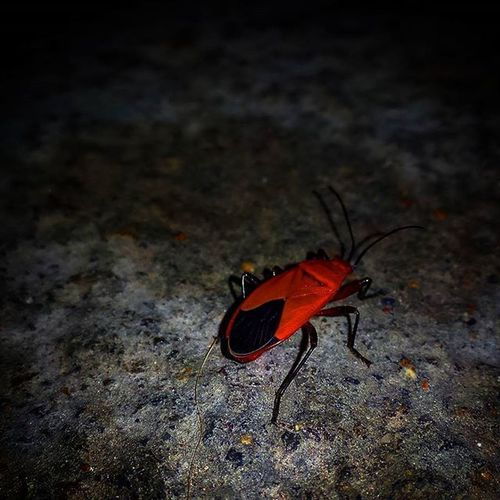 Insect Red