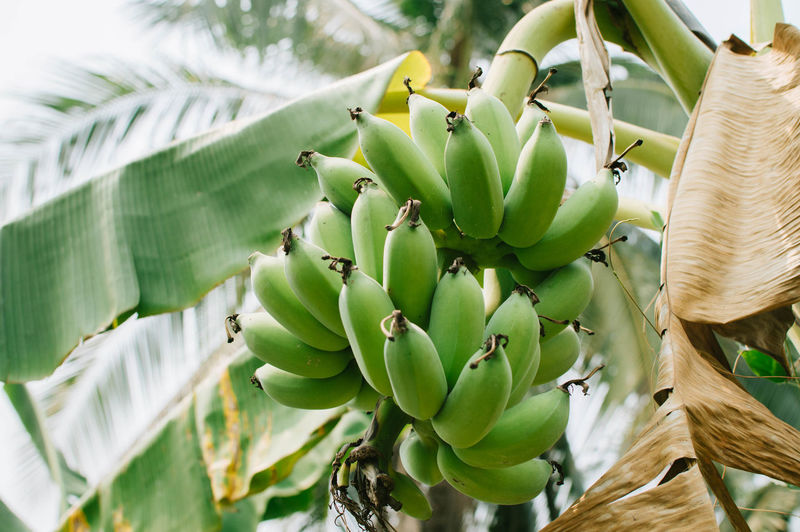 Growth Green Color Banana Banana Tree Food Leaf Close-up Food And Drink Focus On Foreground Outdoors Leaves Beauty In Nature Backgrounds Fruit