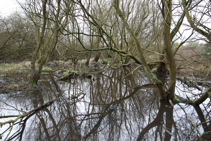 Bare Tree Beauty In Nature Branch Day Flood Forest Growth Mud Nature No People Outdoors Relections Sky Surrey Countryside Swamp Tranquility Tree Tree Trunk Willow Tree