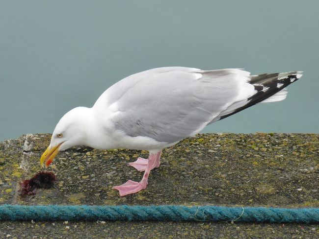 Seagull eating Keli Hungry Seagull Newlyn Harbour Cornwall Happy As A Seagull With A Chip Möwen Portrait Möwenleckerbissen Kelp Seetang Möwe One Animal Animal Themes Bird Day Animals In The Wild Outdoors Animal Wildlife Seagull Nature Close-up