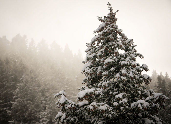 A pine tree covered in snow with a forest in the background. Beauty In Nature Branch Christmas Christmas Tree Cold Temperature Coniferous Tree Day Fir Tree Landscape Nature No People Outdoors Snow Snowing Tree Winter