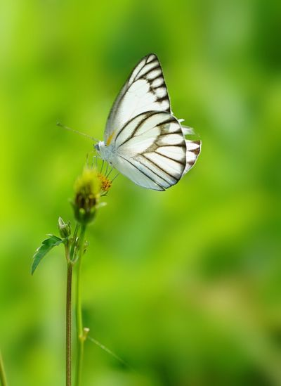 Torn wing Animal Wildlife Insect Animal Themes Animals In The Wild Animal Invertebrate Beauty In Nature Butterfly - Insect Vulnerability  Close-up Focus On Foreground Flower Fragility Plant Flowering Plant Animal Wing One Animal Freshness Nature No People