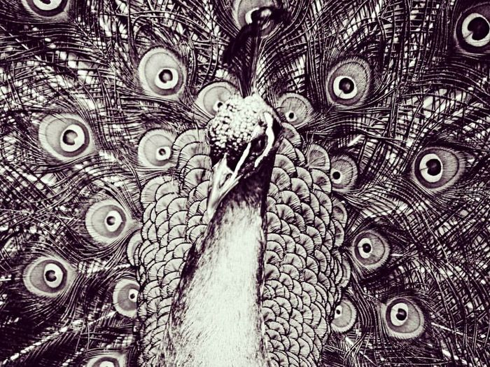 Even without the colour, it's impossible to deny the beauty of a Peacock. Animals In The Wild Animal Themes Animal Wildlife One Animal Portrait Close-up Peacock Outdoors Nature Beauty In Nature No People Eyeemphotography EyeEm Gallery Blackandwhite Photography EyeEmNewHere Animals In The Wild Peacock Feather (null)Zoo Beauty Nature Photography First Eyeem Photo EyeEm Best Shots EyeEmBestPics EyeEm Nature Lover