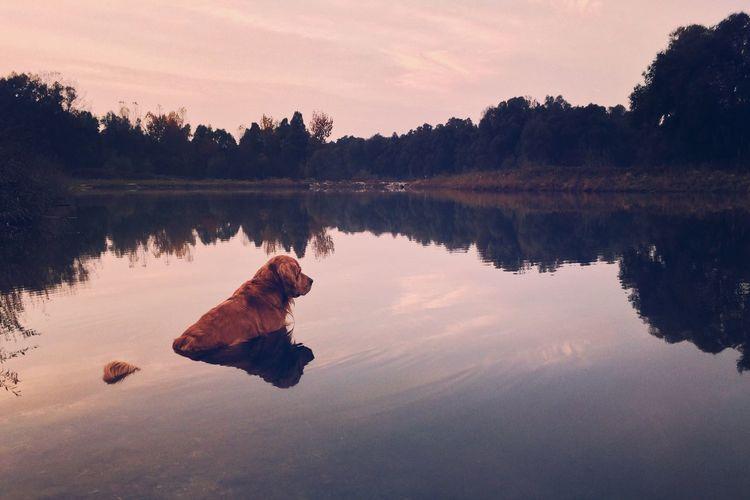 Golden Retriever Relaxing In Calm Lake During Sunset