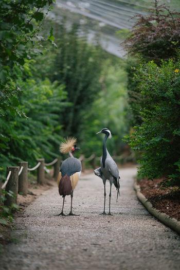 Grey crowned and demoiselle cranes walking on footpath
