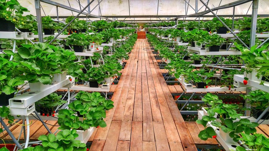 Strawberry plant nursery flower Libe Of Sight Vanishing Flower Nursery Strawberry Cameron  Malaysia Green Greenhouse Plant Nursery Plant Grass vanishing point Diminishing Perspective Passageway Footbridge Leaf Vein Leaves Plant Life Growing The Way Forward