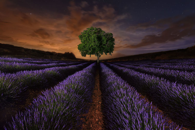 Lavanda Night EyeEmNewHere Night Nightphotography Noche Landscape_photography Nature España SPAIN Agriculture Field Purple Growth Flower Landscape Plant Dramatic Sky Nature Tree Lavender Beauty In Nature Farm Rural Scene Cultivated Land Freshness No People Cloud - Sky