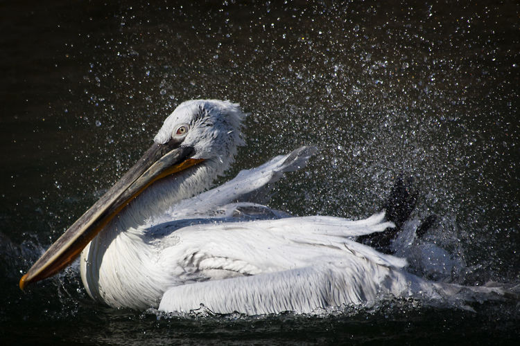 Close-up of pelican shaking off water while swimming in lake