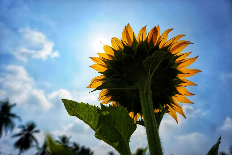 Hope. Lopburi Thailand Tranquility Sunflower Floweroftheday Flower Sky Cloud - Sky Blue Outdoors No People Beauty In Nature Plant Sunflower Flower Head Close-up Fragility Freshness Nature EyeEmNewHere