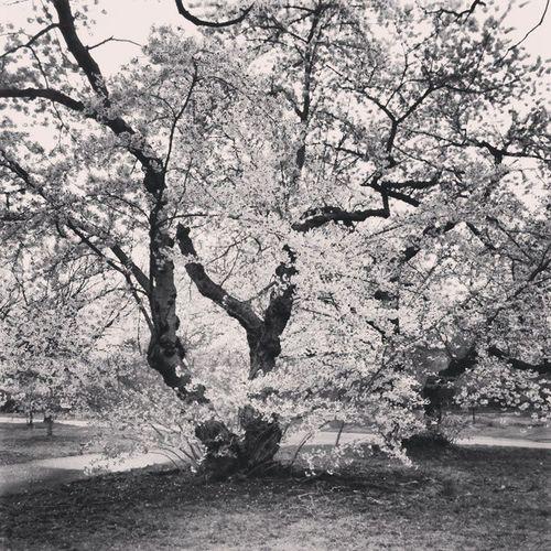 Instagram Instamood Intstagood Igaddicts Instanature Cherryblossom Blackandwhite Nofilter Pretty Peaceful Photographs Picoftheday DailyShot Dailydose