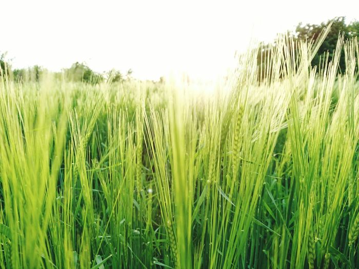 Grass Growth Cereal Plant Agriculture Nature Crop  Green Color Field Rural Scene Wheat Plant Outdoors Day Ear Of Wheat No People Freshness Rice Paddy Sunny Afternoon Beauty In Nature Landscape Nature Weather Beauty In Nature Close-up Sky Lost In The Landscape