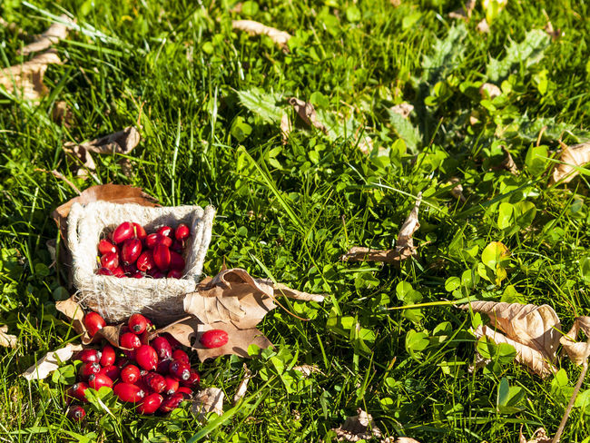 Autumn Autumn Colors EyeEm Best Shots EyeEm Selects EyeEmNewHere Autumn Fruits Basket Environment Food Food And Drink Freshness Fruit Grass Healthy Eating Hip Hips Homeopathy No People Outdoors Red Red Fruits Rosa Rosa Canina Rosa Canina Hips Wild Rose