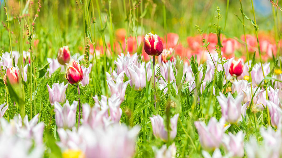 A flower meadow criss-crossed with different tulips Beauty Beauty In Nature Blooming Close-up Day Field Flower Fragility Freshness Grass Growth Nature No People Outdoors Petal Plant Poppy Red Tulip