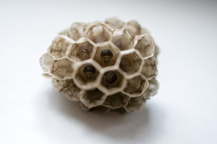 Close-up Studio Shot Indoors  No People Still Life Natural Pattern Honeycomb Pattern White Background Food And Drink Selective Focus Animal Shape Single Object Animal Wildlife Focus On Foreground Animals In The Wild Animal Themes Dry Invertebrate Embryo Embrion Wasp Hive