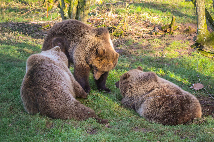 3 Animals BROWN BEARS Animal Animal Themes Animal Wildlife Animals In The Wild Bear Bear Family Brown Bear Close-up Day Grass Grizzly Bear Mammal Nature No People Outdoors Togetherness Two Animals Young Animal
