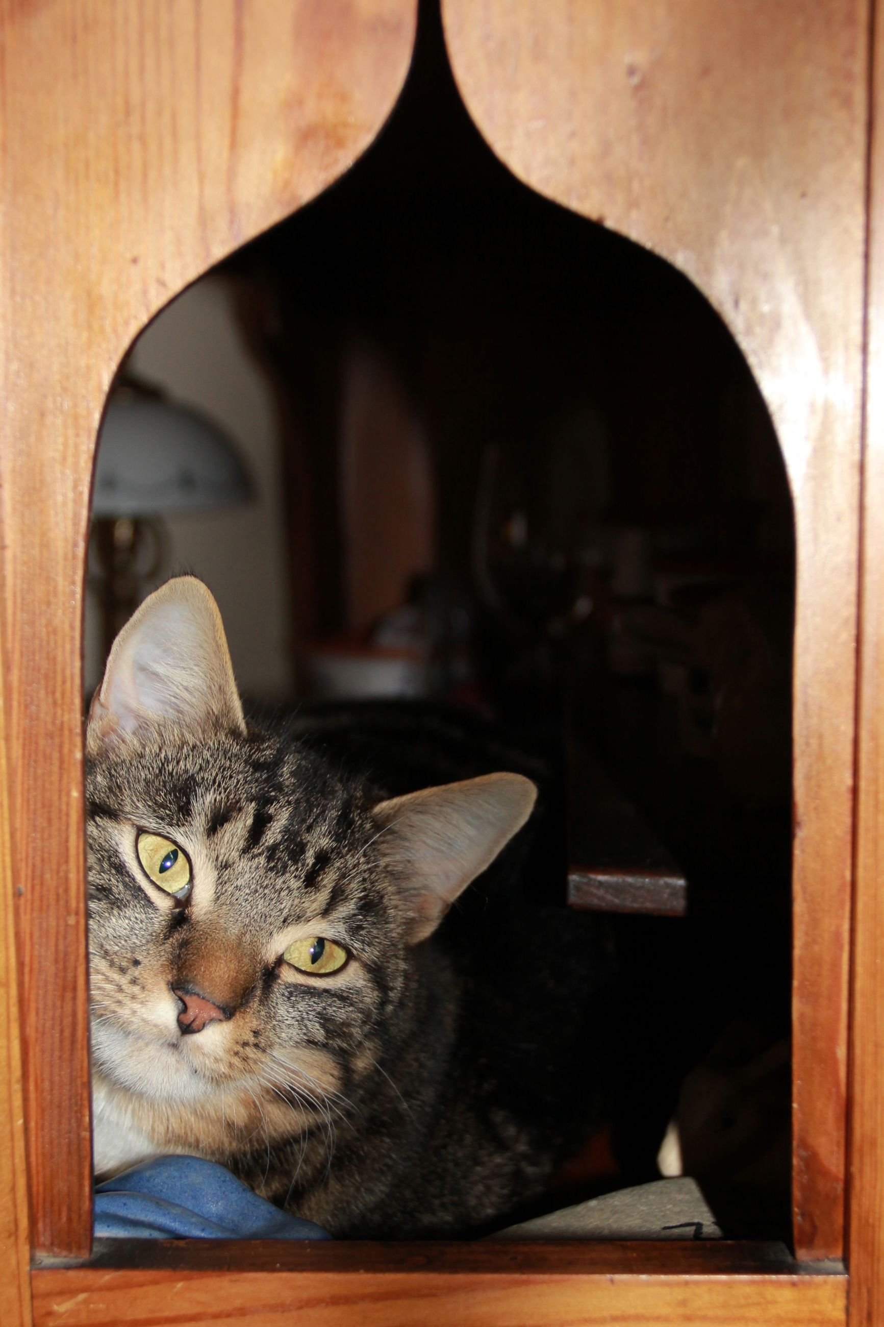domestic cat, cat, domestic animals, pets, feline, animal themes, indoors, one animal, mammal, whisker, home interior, relaxation, sitting, looking at camera, portrait, house, home, window, table, built structure