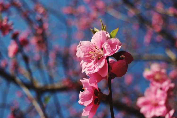 Showcase March March Photography Photo Flowers Japanese Quince Quince Pink Flower