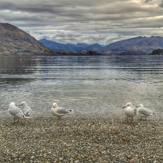 Seagulls Seagull Wanaka Wanakalake Lake Lake Wanaka Lakeview Lake View Stones Stoneybeach Here Belongs To Me Things I Like The KIOMI Collection