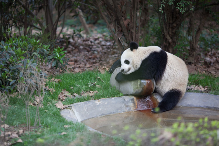 Full length of cute panda in zoo
