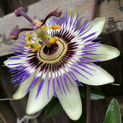 Flower Petal Purple Flower Head Passion Flower Fragility Pollen Freshness Close-up Beauty In Nature Nature Day Outdoors Springtime Growth