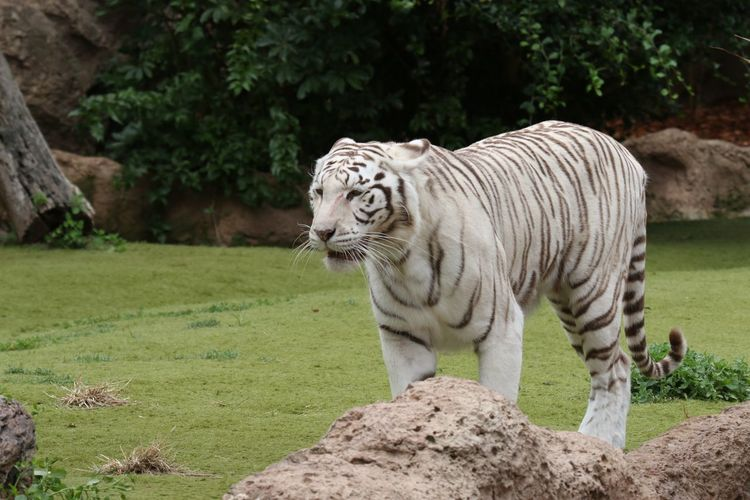 Animal Themes Animals In The Wild Emperor Tigers Focus On Foreground Grass Green Color Königstiger Mammal Nature One Animal Outdoors Tiger Tree White Tiger White Tigers  Wildlife Zoo