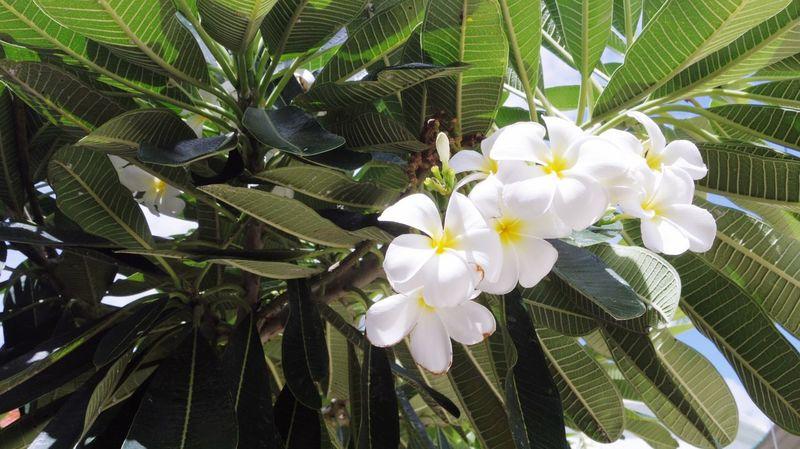 Lee La Wa Dee Thai Flower White Color High Key Lighting On The Tree Plants Tree Garden Mid-day