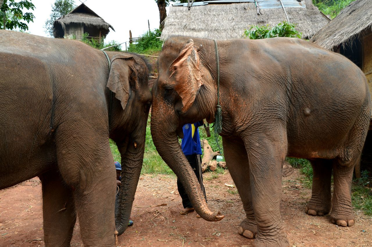 elephant, animal, animal themes, mammal, group of animals, vertebrate, young animal, no people, animal wildlife, day, animals in the wild, animal body part, animal family, two animals, animal trunk, nature, built structure, architecture, outdoors, herbivorous