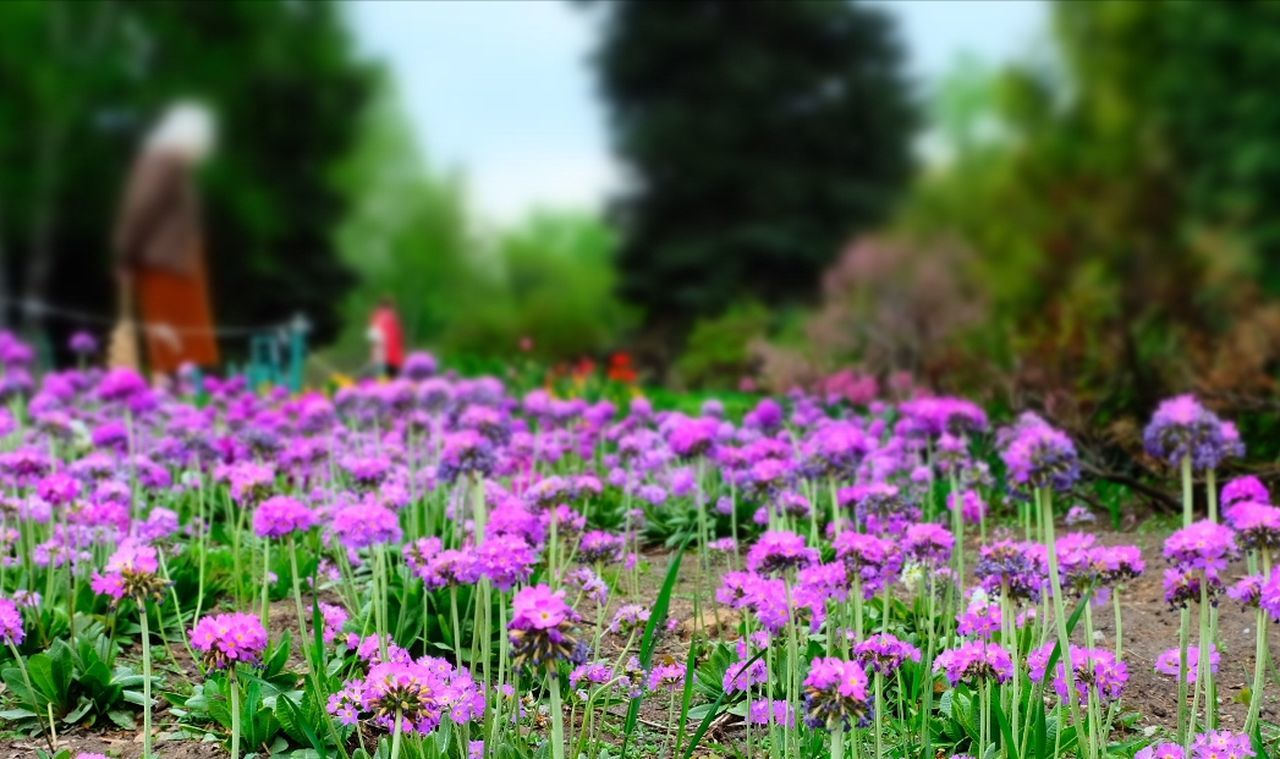 flower, growth, beauty in nature, nature, fragility, plant, pink color, day, outdoors, focus on foreground, field, freshness, no people, petal, blooming, flower head, close-up