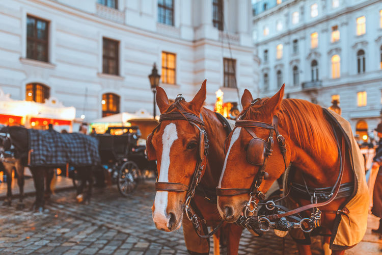 Architecture Building Exterior City Built Structure Outdoors Horse Hackney Cab Horse Drawn Carriage Christmas Christmas Decoration Christmas Lights Christmas Ornament Horses Hofburg Vienna Vienna_city Vienna, Austria Vienna Tourism Vienna Trip Cobble Stone