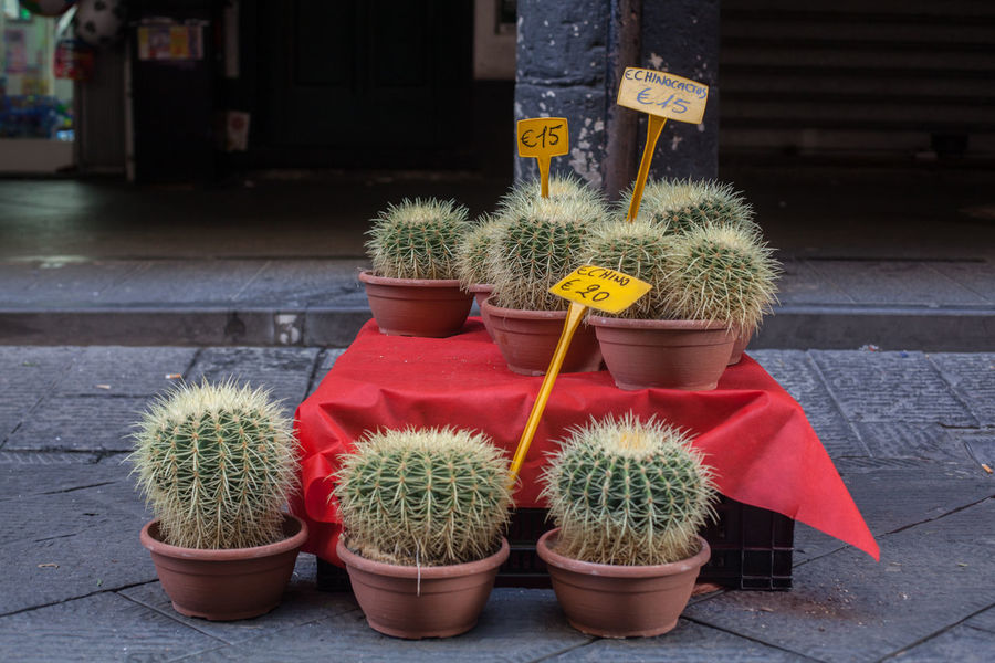 Echino Cactus Abundance Arrangement Basket Beauty In Nature Botany Close-up Day Decoration Echinocactus Flower Flower Pot Focus On Foreground Fragility Freshness Green Color Growth Multi Colored Nature No People Outdoors Petal Plant Potted Plant Red Side By Side