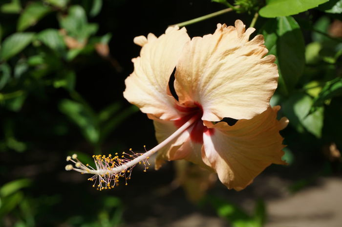 Flower Nature Fragility Close-up Plant Beauty In Nature Animal Wildlife Flower Head Insect Petal No People Outdoors Day Freshness Nature Photography Nature_collection Hibiscus Nature Hibiscus Flower Eyeem Philippines