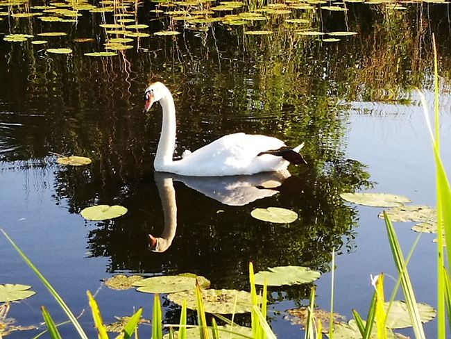"""""""One Giethoorn swan"""" Water Lake Animal Themes Animals In The Wild Swimming Reflection Day Swan No People Floating On Water One Animal Outdoors Bird Nature Flamingo Close-up"""